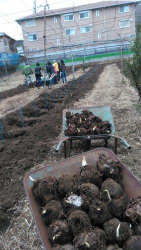 有馬町会文化厚生部里芋種植